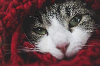 кот в пледе