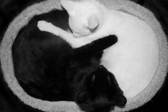 кошки Инь-Ян