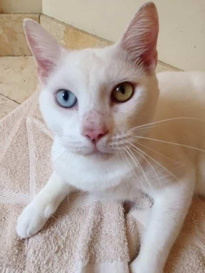 у кошки разны глаза