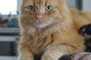 рыжий кот смотрит прямо перед собой
