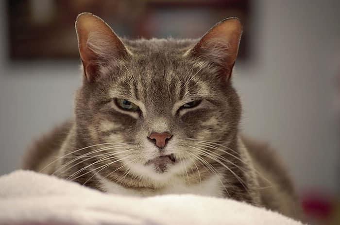 Ликой  кот оборотень в кошачьей шкуре История породы