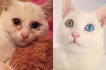 котик с разными глазами