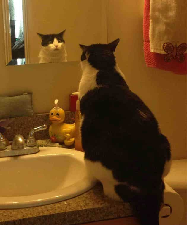 кот смотрится в зеркало