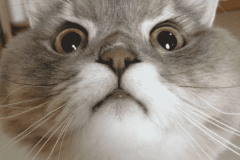 популярный кот тайланда