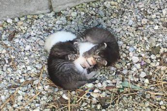 Двое котят свернулись вокруг больной сестры