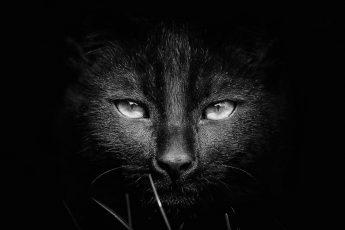 кошка в черном и белом