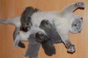 Кошка кормит серых котят