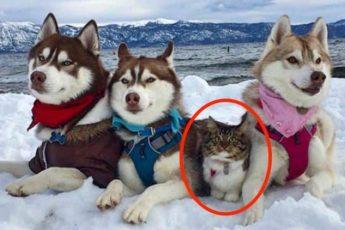 Кошка и Хаски