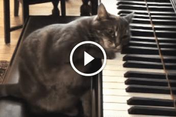 Кошка пианистка