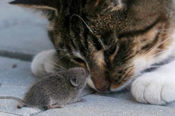 Мышка спит с кошкой