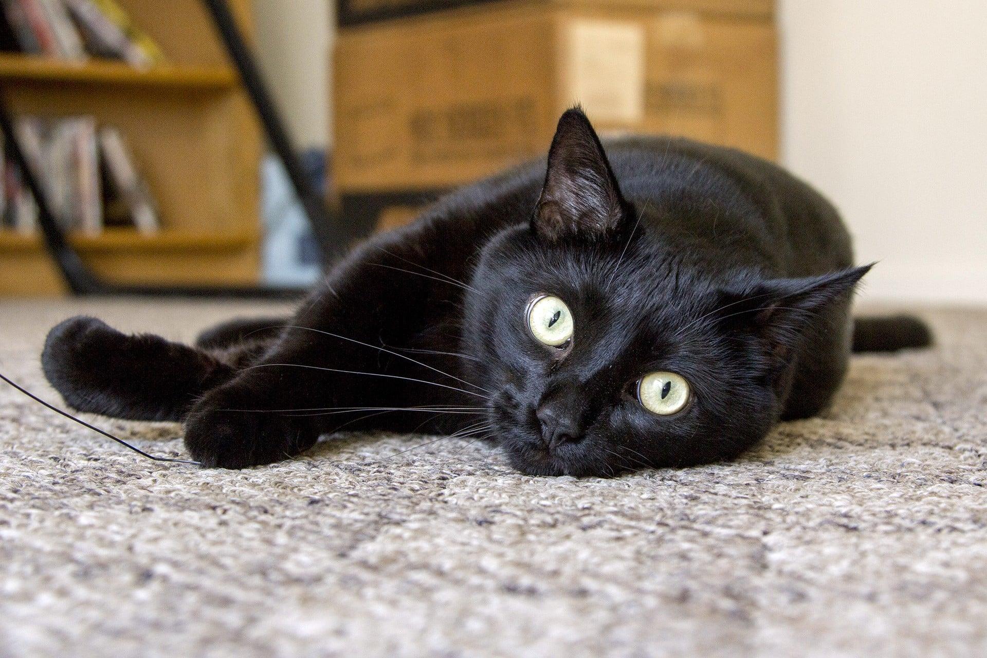 черные коты порода